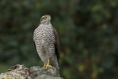 The sparrow-hawk. Sitting on a rock Stock Photo