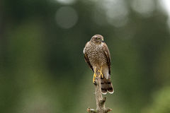 Sparrow hawk Stock Images