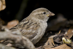 Sparrow in the hedge Stock Photography