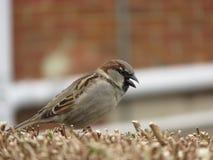 Sparrow on hedge stock photos