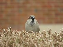 Sparrow on hedge 3 royalty free stock images