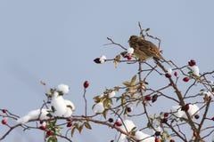 Sparrow hidden among willow branches royalty free stock photos