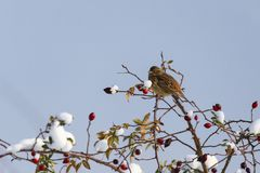 Sparrow hidden among willow branches. In winter day stock photo