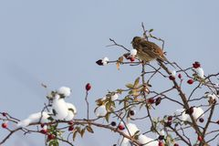 Sparrow hidden among willow branches. In winter day royalty free stock photos