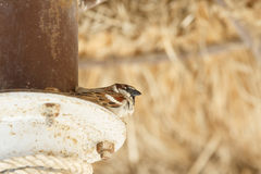 Sparrow hides Royalty Free Stock Image