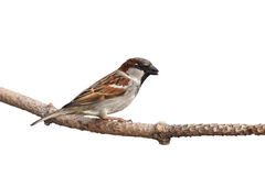 Sparrow holds a sunflower seed Royalty Free Stock Images