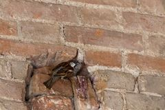 Sparrow in the hole. Nest in the wall royalty free stock photography