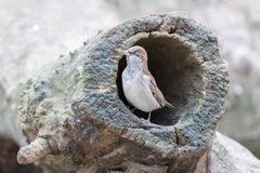 Sparrow in a hollow tree royalty free stock photos
