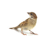 Sparrow. House Sparrow against isolated on a white background Royalty Free Stock Photography