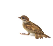 Sparrow. House Sparrow against isolated on a white background Stock Image