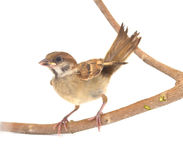 Sparrow. House Sparrow against isolated on a white background Stock Images