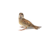 Sparrow. House Sparrow against isolated on a white background Royalty Free Stock Photo
