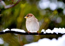 Sparrow house. The sparrow house sits in the winter on a tree branch Stock Photos
