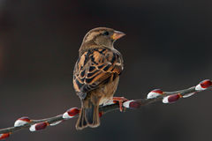 Sparrow, House Sparrow Royalty Free Stock Photography