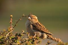 Sparrow house sparrow Stock Photography