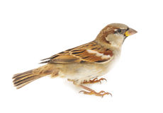 Sparrow. House Sparrow on a white background stock image