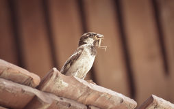 Sparrow hunted a grasshopper. Sparrow sitting on roof and eating a grasshopper Stock Photography
