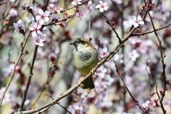 Sparrow i blommor Royaltyfri Bild