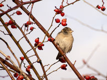 Sparrow i en förföljarobuske Royaltyfri Bild