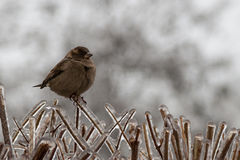 Sparrow on the ice-covered branches of a bush. Yuzhny, Ukraine Royalty Free Stock Images