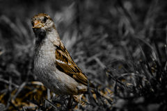 Sparrow II. Little sparrow in the grass royalty free stock image