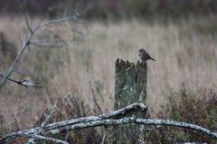 Sparrow In Marsh Stock Image