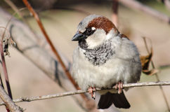 A sparrow indulged oneself in day-dreaming Stock Photo