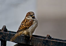 Sparrow - a   inhabitant of the city parks. Royalty Free Stock Images