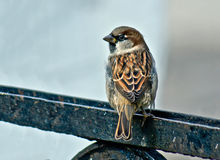 Sparrow - a   inhabitant of the city parks. Stock Photography