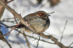 Sparrow - a   inhabitant of the city parks. Royalty Free Stock Image