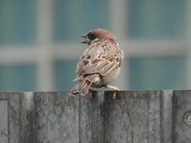 Sparrow. On the iron fence Stock Photos
