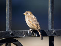 Sparrow on an iron fencing Royalty Free Stock Photography
