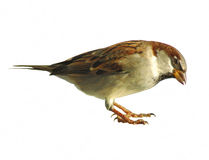 Sparrow Isolated. On white in interesting pose Stock Photography