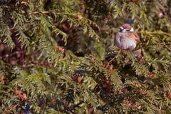 Sparrow on the juniper Royalty Free Stock Photos