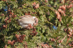Sparrow on the juniper Stock Photography