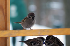 Sparrow king over others Royalty Free Stock Image