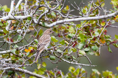 Sparrow at Laguna Coast Wilderness Park Royalty Free Stock Images