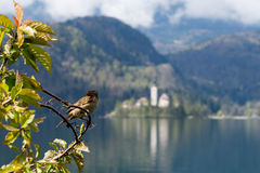 Sparrow at lake Bled royalty free stock photography
