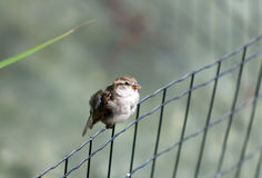 Sparrow at lattice Royalty Free Stock Images