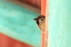 Sparrow Stock Photography