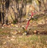 Sparrow and Light-vented Bulbul Royalty Free Stock Photos