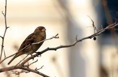 Sparrow on a Limb Stock Photos