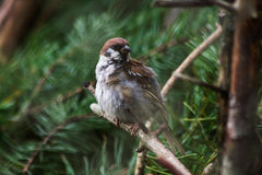 Sparrow. Little sparrow in branch in forrest Stock Image