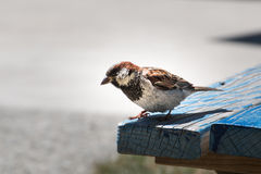 Sparrow 2 Royalty Free Stock Images