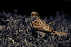 Sparrow. Little sparrow in the grass royalty free stock photo