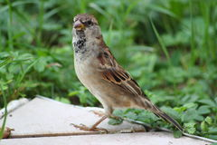 Sparrow. Little sparrow sitting in grass Stock Images