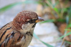Sparrow. Little sparrow sitting in grass Stock Photography