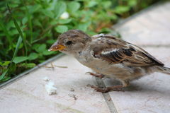 Sparrow. Little sparrow sitting in grass Stock Image