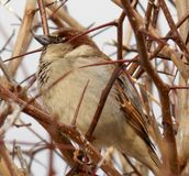 Sparrow. Little sparrow among thorns plant is hidden Royalty Free Stock Photography