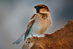Sparrow on log Stock Photos